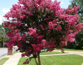 Crepe Myrtle 1 year bare root cutting