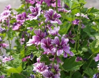 "Graines de fleurs ""Zébrina malva pour le jardin. 75 semences"