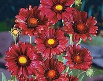 30+ Burgundy Silk Gaillardia / Perennial Flower Seeds
