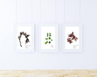Seaweed print set - Botanical print set - Scientific print - Nautical print set - Seaweed art