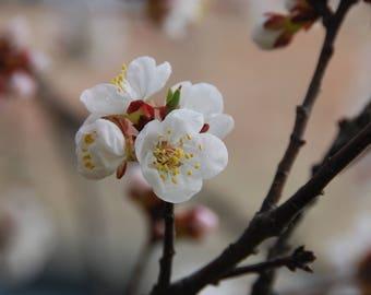 Flower white cherry blossom digital download card