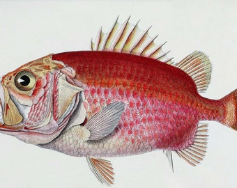 Vintage Straighthead Soldierfish Illustration Drawing Download Image