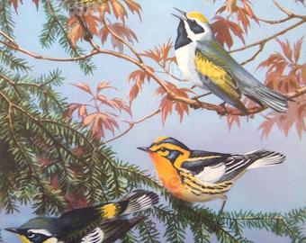 Vintage BIRDS Print - Warblers - 1930s Book Illustration by Walter Alois Weber