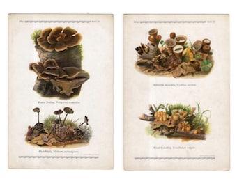 c. 1921 - 2x EDIBLE MUSHROOM LITHOGRAPHS - original vintage prints - fungi toadstool mycology bolete shrooms - agaricus bolletus polyporus