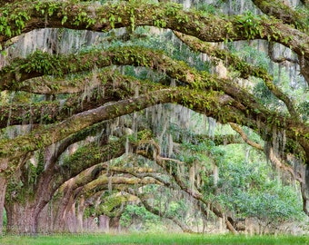 Photograph - South Carolina Live Oaks - Large 20 x 30 Wall Art