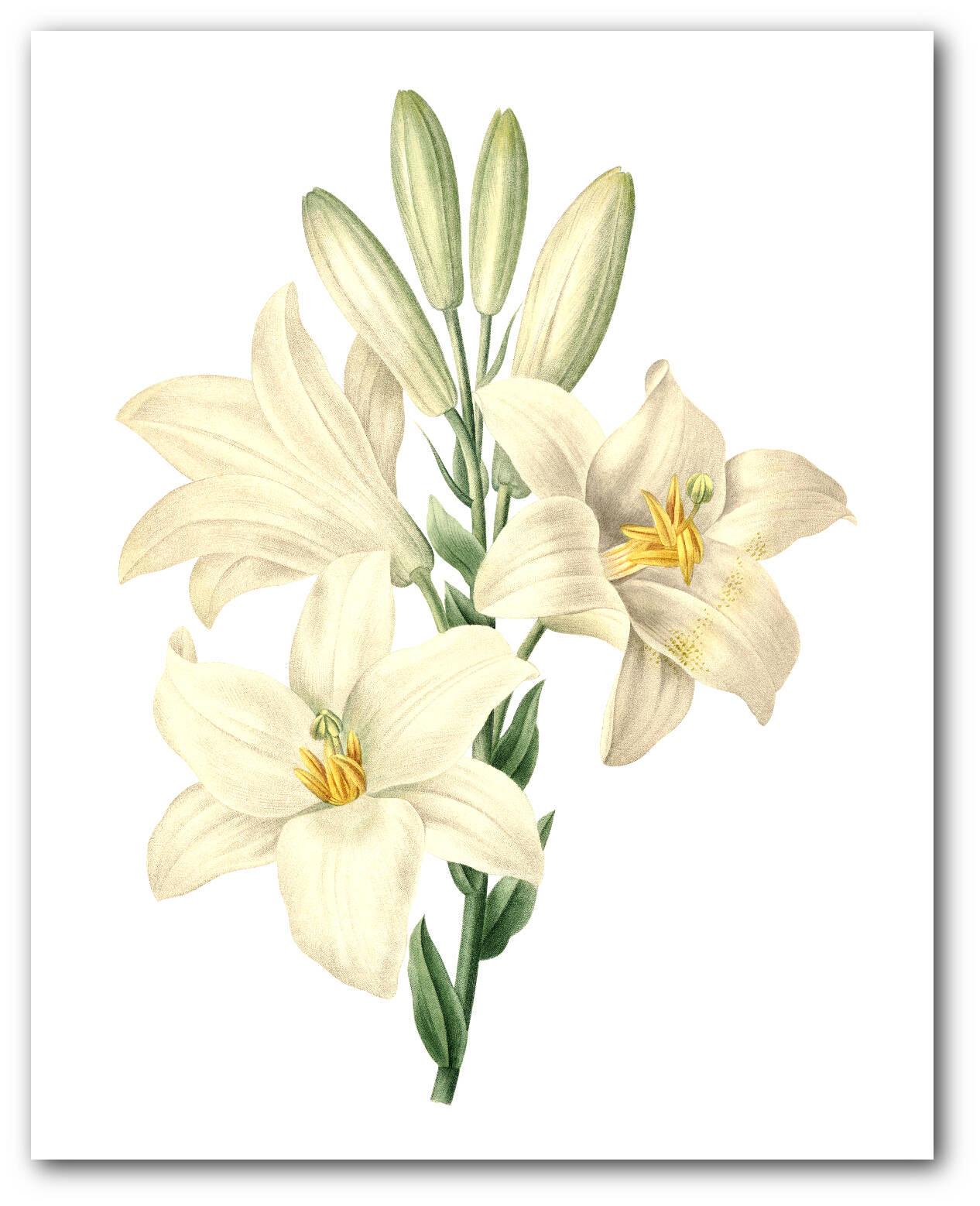 White madonna lily print botanical flower botanical lilium zoom izmirmasajfo Gallery
