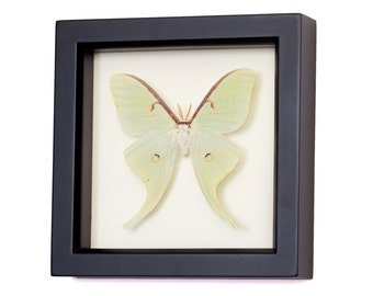 Preserved Luna Moth Insect Art Display