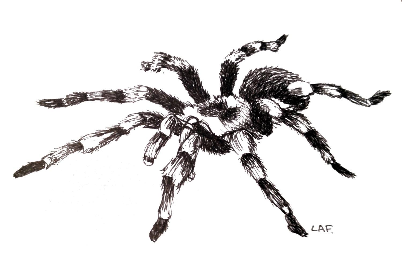 Insect printsspider prints tarantula printsOriginal Drawing