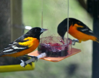 Oriole Jelly Feeder OR-1J by Peter's Feeders: Feed orioles delicious jelly all summer long