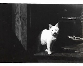 """Vintage Snapshot """"Snowball"""" White Kitty Cat Reluctantly Poses For The Camera Fluffy White Kitten Cat Photo Found Vernacular Photography"""