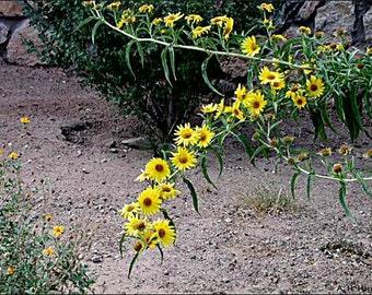 Helianthus Maximiliani - 100 Seeds - Maximilian Sunflower