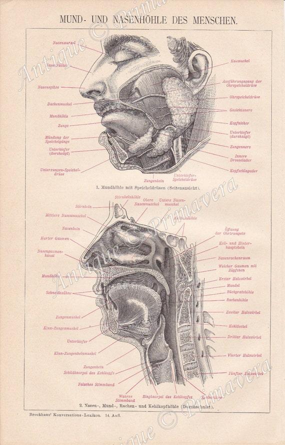 1898-Anatomie Mund und Nasenhöhle der menschlichen Körper