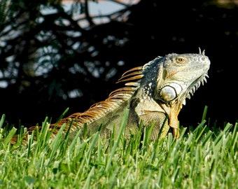 Iguana in the sun
