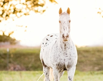 Horse Photography, Horse Picture, Horse Poster, Appaloosa horse with evening backlighting, western decor, horse art, wild horse