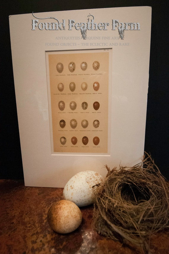 Antique Henry Seebohm British Bird Egg Chromolithograph Plate from 1896 England