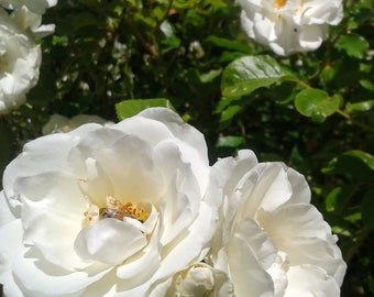 White Roses with Honey Bee Inside, Spring Photography