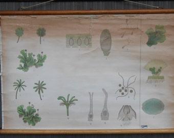 Vintage Belgian School Chart of Fern