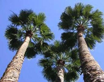 Washingtonia robusta Mexican Fan Palm 10 seeds