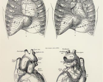 Anatomy of the Chest, Thorax, Heart, Liver, Stomach, 1880s Antique Anatomy Print, Black and White Anatomical Print