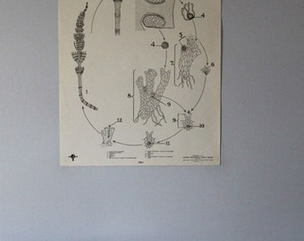 Vintage Equisetum (horsetail) life history classroom chart from Turtox