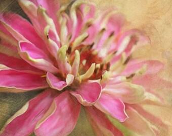 Flower Photograph, Zinnia Photo, 8x8 Print, Pink Flower, Flower Art Print