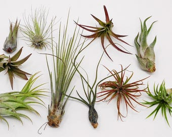 SALE 10 Pack Assorted Tillandsia-Easy Care Collection
