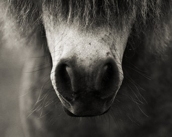 Pony Nose and whiskers, black and white horse photography, Picture of a Pony