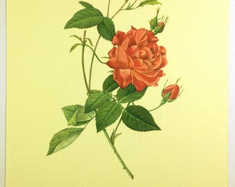 Redoute Botanical print, Flower print, Bengal rose, Pink Red Roses, Wall decor