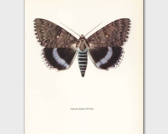 "Butterfly Wall Print (Vintage Scientific Illustration Art, Blue Home Decor) --- ""Nonpareil"" No. 94-2"