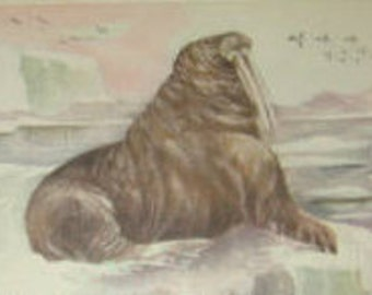 SALE Vintage Animal Postcard (Walrus)