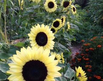 Valentine Sunflower Seeds, Yellow Sunflowers, Great for Cut Flowers and Pollinator Gardens, NON GMO Sunflowers for Urban Gardens