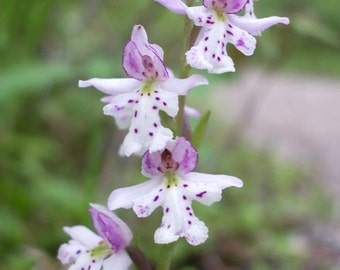 Orchids Wild and Rare, Round Leaf Orchid, Amerorchis rotundifolia, Tiny Orchid, wild flowers, Photograph or Greeting card