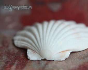 8x10 Scallop Shell Photograph, Red Background, Fine Art Print