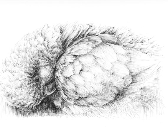Pen And Ink Sketches Quaker Parrot Drawing Black And White