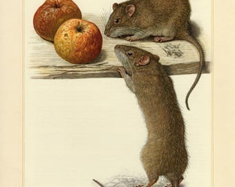 Vintage lithograph of the brown rat from 1956
