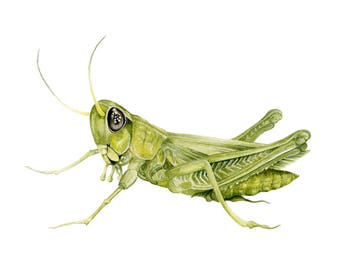 Grasshopper Picture - A4 limited Edition Print