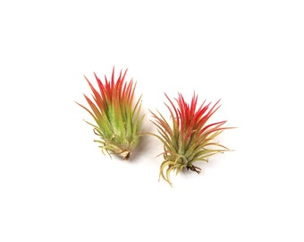 5 Pack - Air Plant - Ionantha Fuego - Set of 5 - Fast FREE Shipping - 30 Day Guarantee - Air Plants for Sale