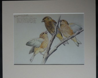 1970s Vintage Natural History Print of a Greenfinch by Charles Tunnicliffe Beautiful ornithology art, garden bird decor, Old Sketch of Birds