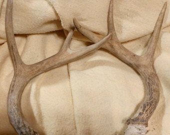 White Tail Deer Antlers...Clean