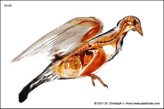 anatomie der taube plastinat vogel mit feinsten. Black Bedroom Furniture Sets. Home Design Ideas