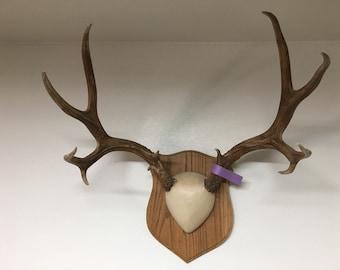 Beautiful large muley deer sheild mount