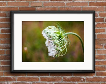 Queen Anne's Lace Fine Art Photograph 8x10, 11x14, 16x20 Nature Photography Flower Wall Art Wildflower Home Decor