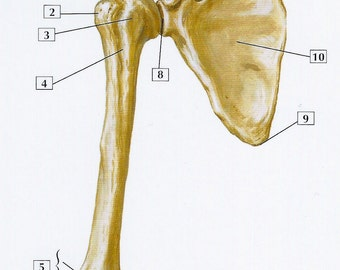 Humerus and Scapula Anterior View Anatomy Flash Card by Frank H. Netter to Frame or for Paper Arts, Collage Scrapbooking and MORE PSS 2718