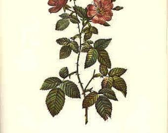 Redoute Botanical Rose Print  49