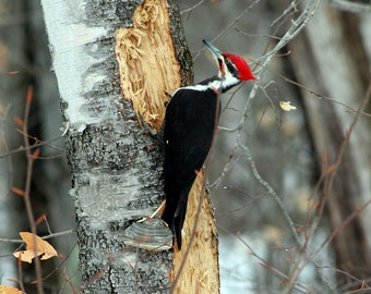 Woody on Steroids, Bridgton, Maine, Wildlife, Birds, White Birch, Pileated Woodpecker, Fine Art, Wall Art