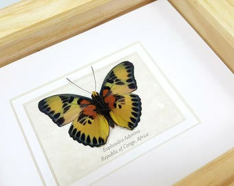 FREE SHIPPING Framed Euphaedra Adonina The Golden Themis Forester Butterfly Taxidermy A1 #166