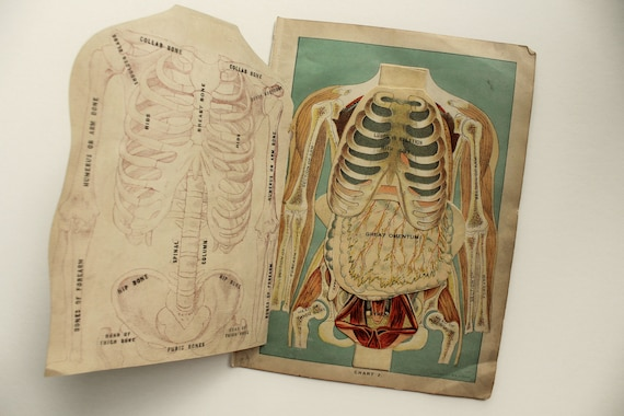 Antique anatomy chart dissection human body 1916 fold out publicscrutiny Images