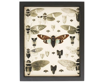 Insect Art Print Real Framed Cicada Display