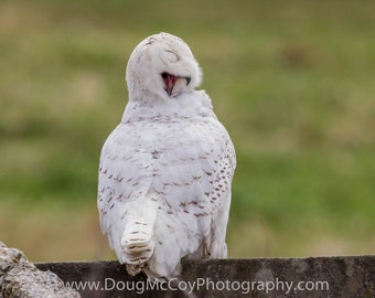 Snowy Owl in Central Ky. #2363
