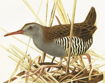 Water rail print 1960 Vintage water rail poster Vintage bird artwork Bird picture of water rail Vintage bird decor Bird art Bird gift